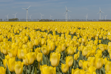 Yellow tulips field in the Dutch Noordoostpolder with modern windmills in the background