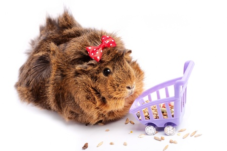 shopping funny guinea pig portrait over white background