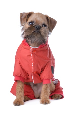 Smooth haired Brussels Griffon puppy isolated on white