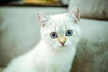 Photo pour Portrait of a cute British kitten with blue eyes on a gray background. Cozy home. Domestic cat. Close up copy space - image libre de droit