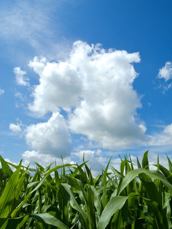 Young corn field and a beautiful cloud