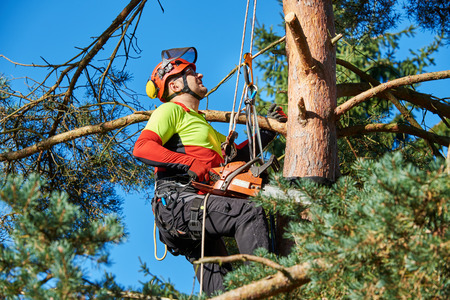 Photo for Lumberjack with saw and harness climbing a tree - Royalty Free Image