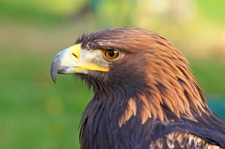 Portrait of a Golden Eagle  Aquila chrysaetos