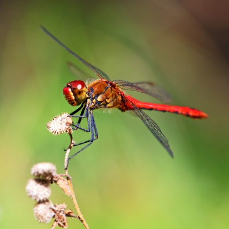 A red dragonfly at rest Sympetrum vulgatum