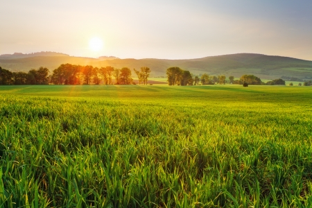 Photo for Green wheat field at sunset with sun - Royalty Free Image