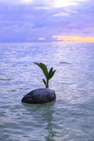 coconut at sunrise drifting on the ocean