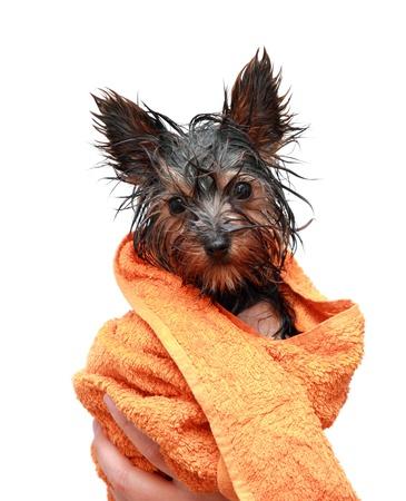 Photo pour Little wet Yorkshire terrier with orange towel - image libre de droit