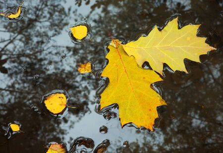 Two large, yellow oak leaves and a few small from birch, floating in a puddle on a forest path, in the water you can see reflections of the trees growing around it.Poland in autumn,october.