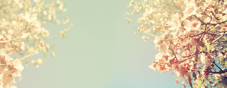 Abstract blurred website banner background of of spring white cherry blossoms tree. selective focus. vintage filteredの写真素材