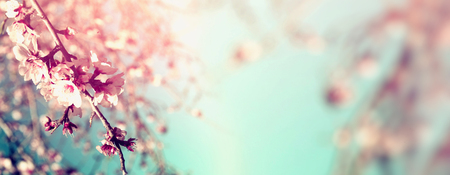 Photo for Abstract blurred website banner background of of spring white cherry blossoms tree. selective focus. vintage filtered - Royalty Free Image