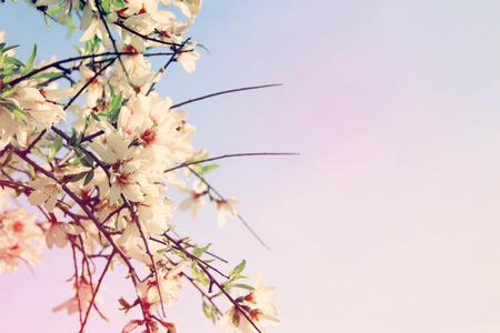 Photo pour background of spring white cherry blossoms tree. selective focus - image libre de droit