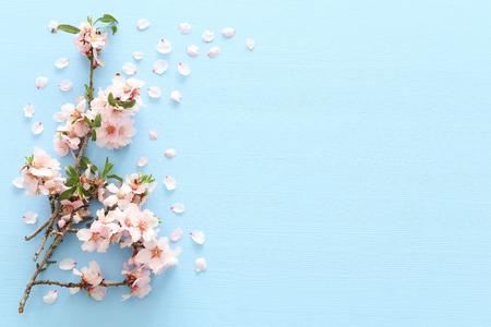 Photo pour photo of spring white cherry blossom tree on blue wooden background. View from above, flat lay - image libre de droit
