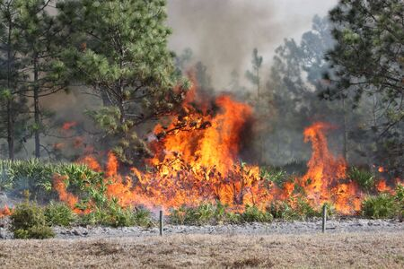 Controlled forest fire in Central Florida, 8 January 2010. Flames are well developed in this image, with brush fully engaged and pine trees in various stages of burning. Black smoke billows from the flames.