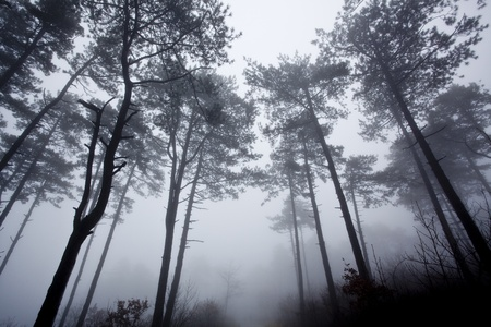mystrious foggy forest in winter