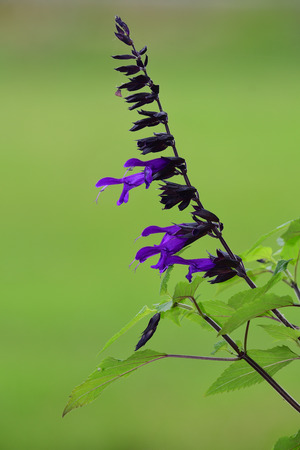 Close up of purple salvia in bloom with a soft green background