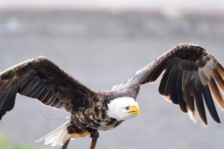 Photo pour Portrait of a bald eagle (haliaeetus leucocephalus) in flight during a falconry display - image libre de droit