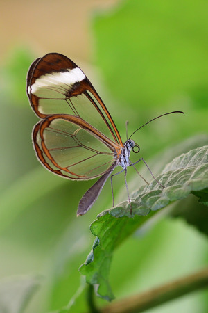 Close up of a glasswing butterfly (greta oto) on a leaf