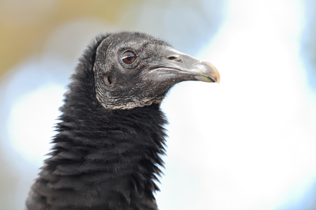 Photo pour Head shot of a black vulture (coragyps atratus) - image libre de droit