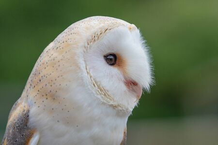 Photo pour Head shot of a barn owl (tyto alba) with a green background - image libre de droit