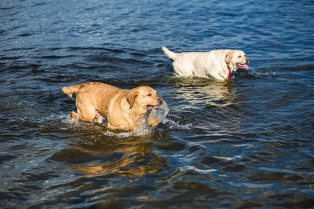 Two labradors on the beach. Two happy dogs play on the river bank