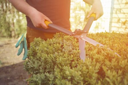 Photo pour Man with bare hands is trimming a green shrub using hedge shears on his backyard. Gloves are in his pocket. Professional pruning tool. Close up - image libre de droit