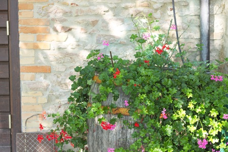 Foto per Bougainvillea plant and flowers in the barrel (Marche, Italy, Euope) - Immagine Royalty Free