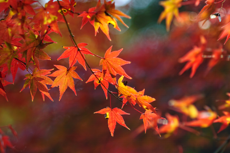 Japanese maple leafの写真素材