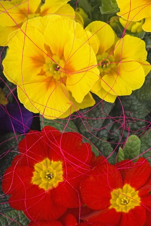 Variegated primrose and  reds coir.