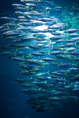 Photo pour school of fish in aquarium in Stralsund, Germany - image libre de droit