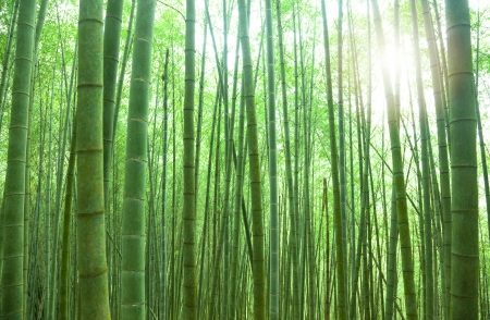 Sunlit Bamboo Forest