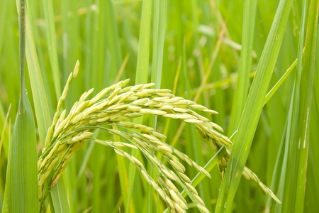 rice in a paddy field close up