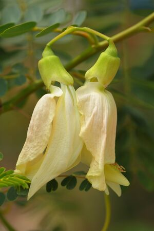 The scientific name Sesbania grandiflora  L   Pers