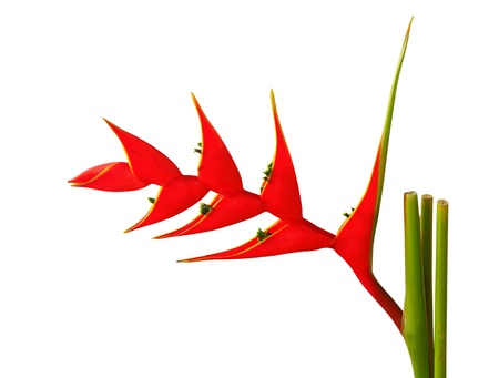 Heliconia flower on a white background