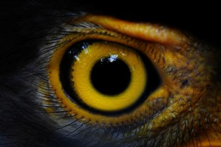 Photo pour  Serpent-Eagle close-up face  Spilornis cheela  - image libre de droit