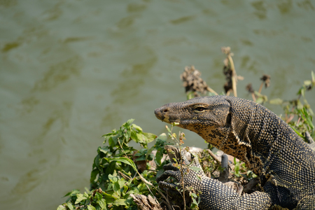 portrait of a banded monitor lizard (varanus salvator)