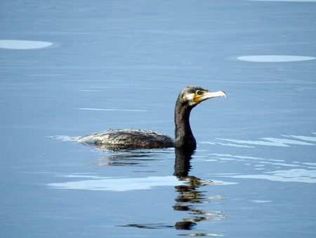 Cormorant (Phalacrocorax carbo) is swimming on the water surface