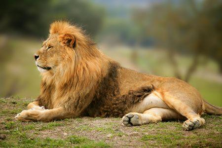 Beautiful Lion wild male animal portrait king of jungle