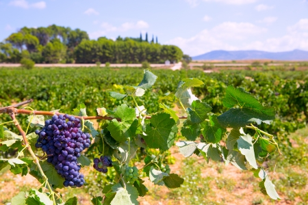 bobal wine grapes ready for harvest in Mediterranean vineyard