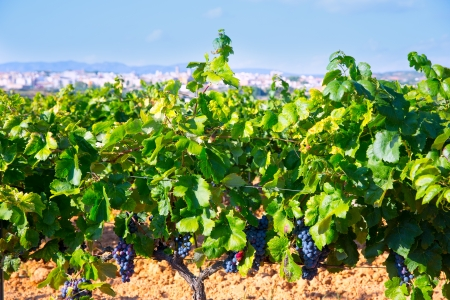 Requena in Valencia province a wine region of Spain from vineyard view