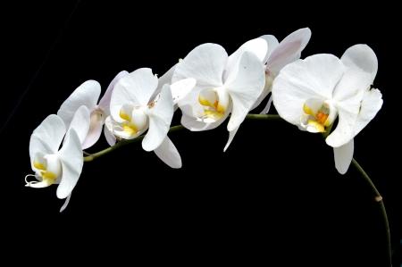 Foto de moon s orchid  Phalaenopsis amabilis   on black background - Imagen libre de derechos