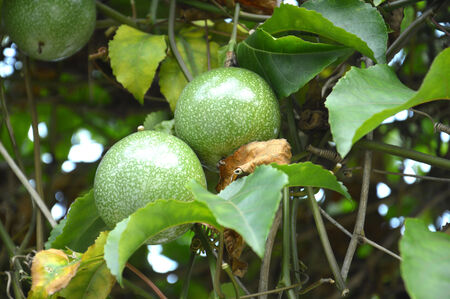 the green passion fruit plant