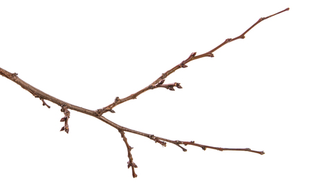 Foto de dry apricot tree branch. isolated on white - Imagen libre de derechos
