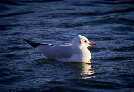 A black headed gull on a lake with winter, non breeding plumage, England, UK.