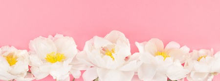 Blooming white peony flowers on pastel millennial pink color paper background with copy space in minimal style, template for postcard, lettering, text design. Long wide banner for blog or social media