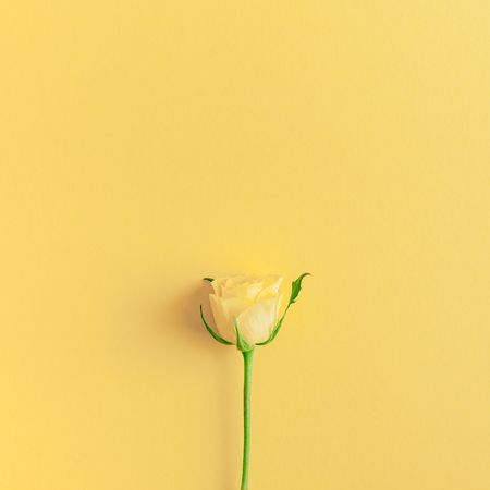 Creative top view flat lay fresh yellow roses composition with copy space bold color paper background minimalism style. Template feminine blog social media holiday wedding invitation card