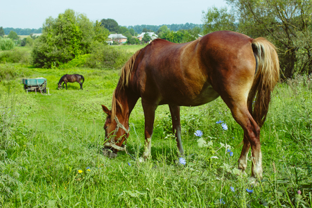 Brown horses eat grass. Rural Life