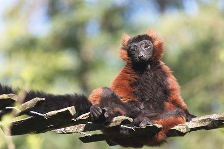 a male vari or red lemur