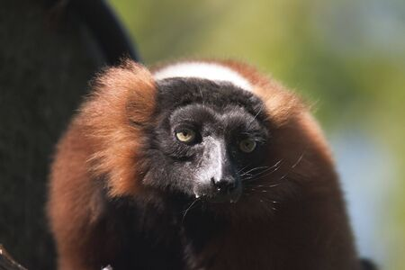 a close up of a male vari or red lemur