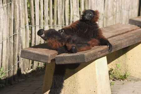 a male vari or red lemur bathing in the sun