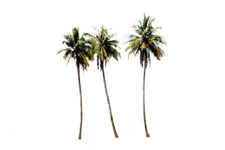Photo for Groups of coconut trees on a white background with the clipping path. - Royalty Free Image